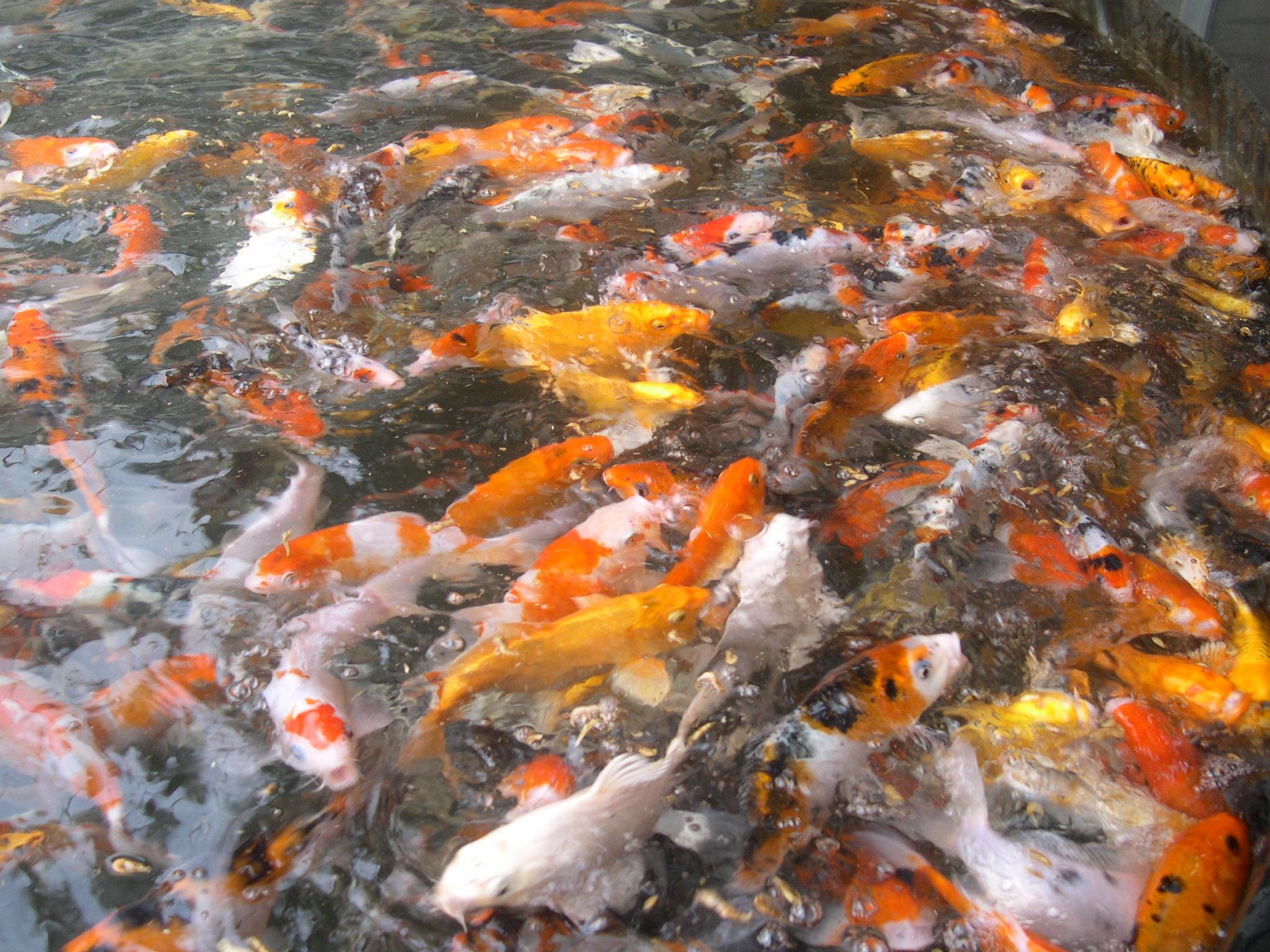 Karpers In Tuin : Vissen van de pas vijver en tuin vijver vissen algemeen
